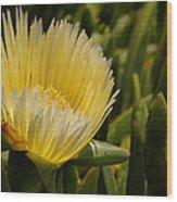 Ice Plant Bloom Wood Print