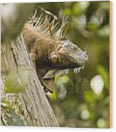 Iguana In Tree Wood Print