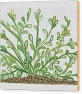 Illustration Of Bacopa (waterhyssop) Bearing Succulent Oblanceolate Green Leaves On Creeping Stems Wood Print