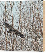 Immature Bald Eagle Flying Wood Print