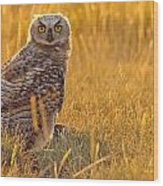 Immature Great Horned Owl Backlit Wood Print