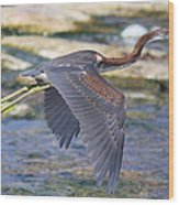 Immature Tricolored Heron Flying Wood Print
