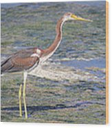 Immature Tricolored Heron Standing At High Tide Wood Print