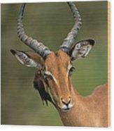 Impala Aepyceros Melampus Buck Africa Wood Print