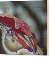 Imperator Commensal Shrimp On Eyed Sea Wood Print