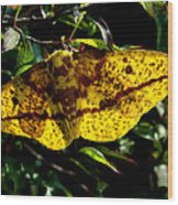 Imperial Moth Din053 Wood Print