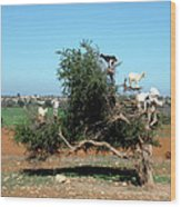 In Morocco Goats Grow On Trees Wood Print