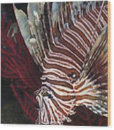 Indonesian Lionfish On A Wreck Site Wood Print