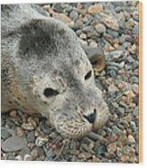 Injured Harbor Seal Wood Print