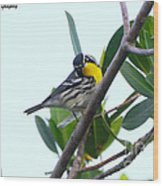 Inquisitive Yellow Throated Warbler Wood Print