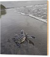 Instinct Sends A Young Leatherback Wood Print by Joel Sartore