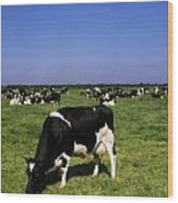 Ireland Friesian Cattle Wood Print