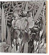 Iris Enhanced With Pencil Wood Print
