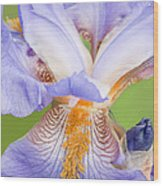 Iris Full Bloom Wood Print