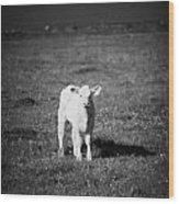 Irish Lone Calf In A Field Wood Print