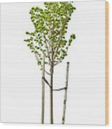 Isolated Young Linden Tree Wood Print