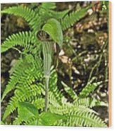 Jack-in The-pulpit_4588 Wood Print