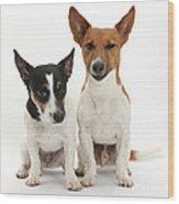 Jack Russell Terrier Dog, Rockie Wood Print