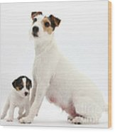 Jack Russell Terrier Mother And Puppy Wood Print