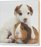 Jack Russell Terrier Puppy And Guinea Wood Print