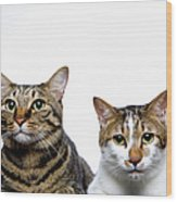 Japanese Cat And Manx Cat On White Background, Close-up Wood Print