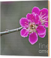 Japanese Flowering Apricot. Wood Print
