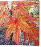 Japanese Maple Leaves 13 In The Fall Wood Print