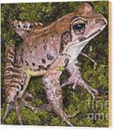 Japanese Ranid Frog Wood Print