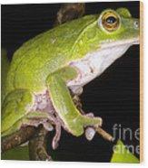 Japanese Rhacophoprid Frog Wood Print