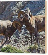 Jasper - Bighorn Sheep Wood Print
