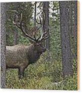 Jasper National Park, Jasper, Alberta Wood Print