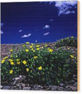 Jasper - The Whistlers Snow Cinquefoil Wood Print