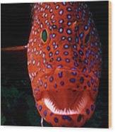 Jewel Grouper, Cephalopholis Miniata Wood Print