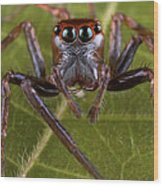 Jumping Spider Papua New Guinea Wood Print by Piotr Naskrecki