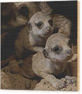 Just Waking Up, Two Meerkat Pups Wood Print