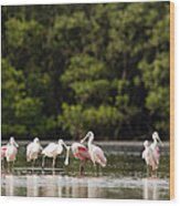 Juvenile And Adult Roseate Spoonbills Wood Print