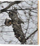Juvenile Bold Eagle Wood Print