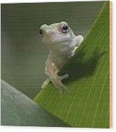 Juvenile Grey Treefrog Wood Print