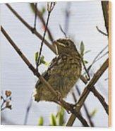 Juvenile Robin Wood Print by Jane Rix