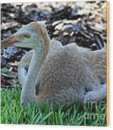 Juvenile Sandhill Crane At Rest Wood Print