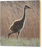 Juvenile Sandhill In The Marsh Wood Print