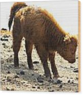 Juvenile Scottish Highlander Cattle Wood Print