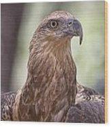 Juvenile Sea Eagle Wood Print