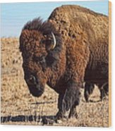 Kansas Buffalo Wood Print