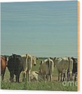 Kansas Cow's With There Backside's To You With Blue Sky And Grass Wood Print