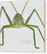Katydid Silaka Nature Reserve South Wood Print