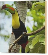 Keel-billed Toucan Wood Print