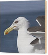 Kelp Gull Wood Print