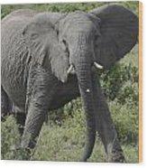 Kenya Masai Mara Charging Elephant  Wood Print