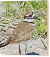 Killdeer Pose Wood Print by Lynda Dawson-Youngclaus